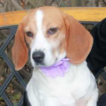 Beagle Disposition