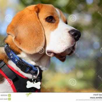 Beagle Dog Collars