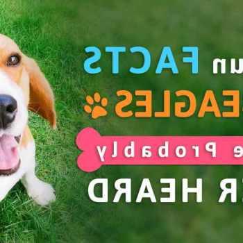 Beagle Dog Facts
