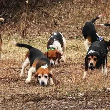 Beagle Dog Hunting