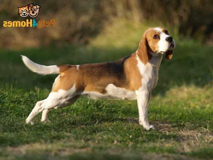 Beagle Dog Information