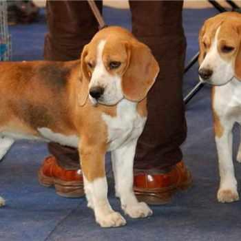 Beagle Dogs For Adoption