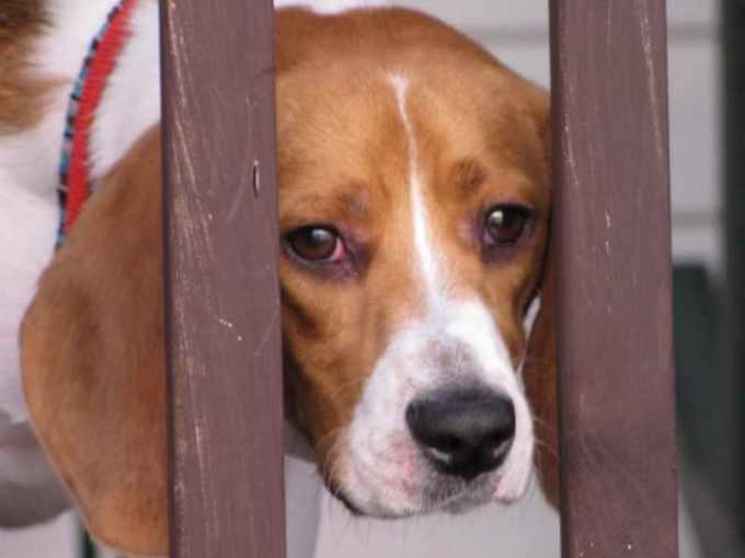 Beagle Eye Problems
