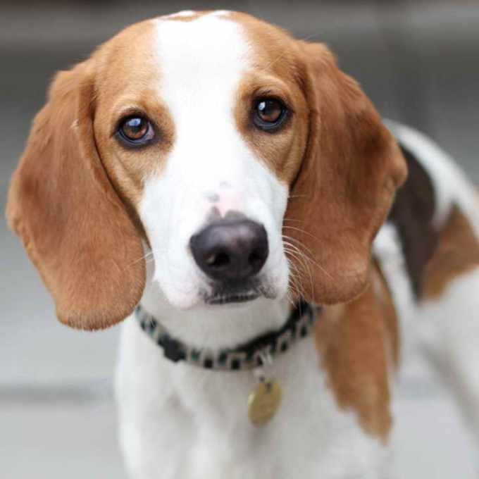 Beagle Foxhound Mix For Sale