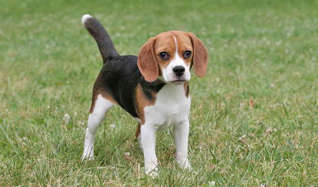 Beagle Full Grown