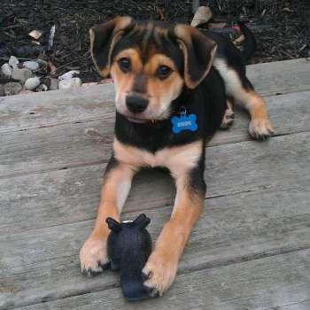 Beagle German Shepherd Mix Puppy