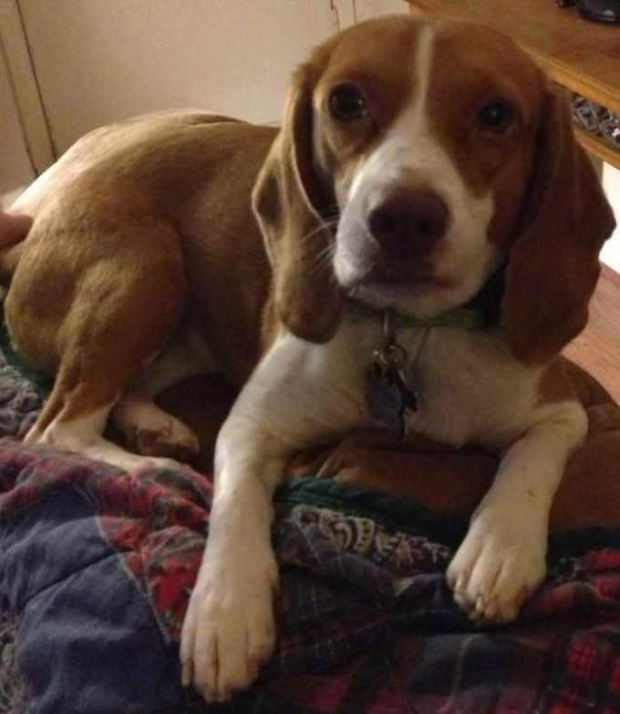 Beagle Houston