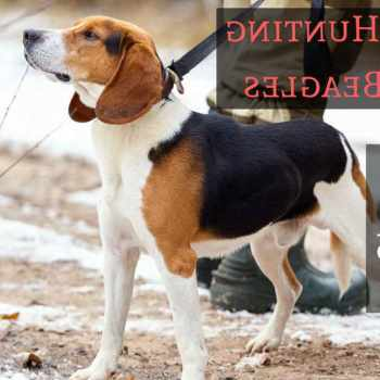 Beagle Hunting Gear