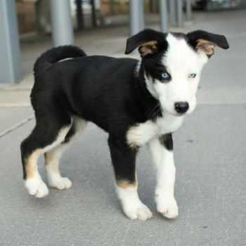 Beagle Husky Mix For Sale
