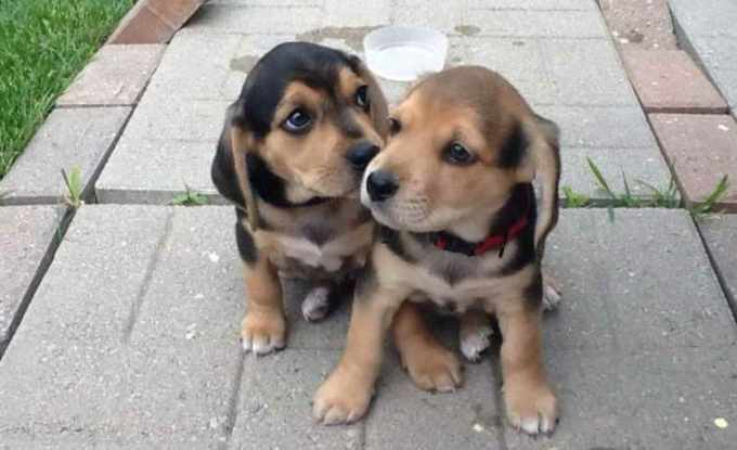 Beagle Lab Mix Puppies For Sale