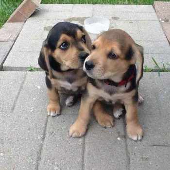 Beagle Lab Puppies For Sale