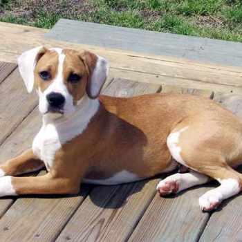 Beagle Mixed With Pitbull