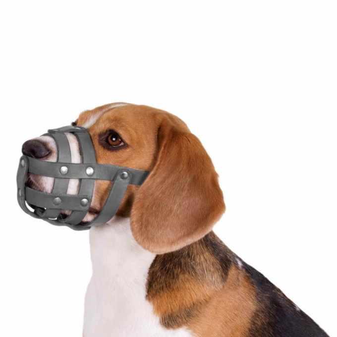 Beagle Muzzle