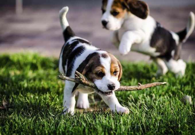 Beagle Puppies Austin Tx