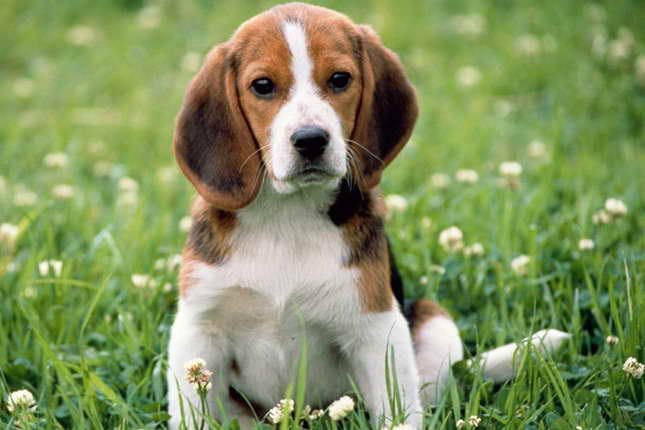 Beagle Puppies Breeders