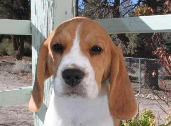 Beagle Puppies California