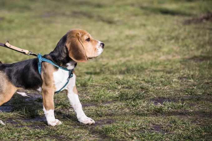 Beagle Puppies Colorado Springs