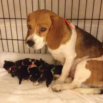 Beagle Puppies Dallas