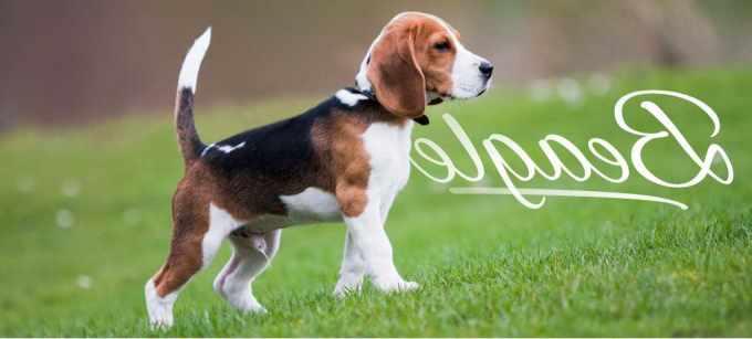 Beagle Puppies Florida