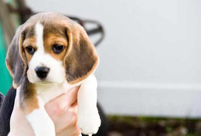 Beagle Puppies For Sale Craigslist