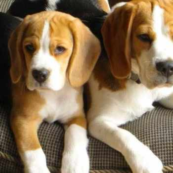 Beagle Puppies For Sale In Atlanta