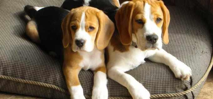 Beagle Puppies For Sale In Atlanta