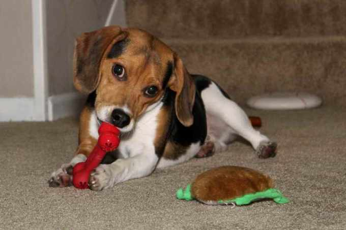 Beagle Puppies For Sale In Illinois