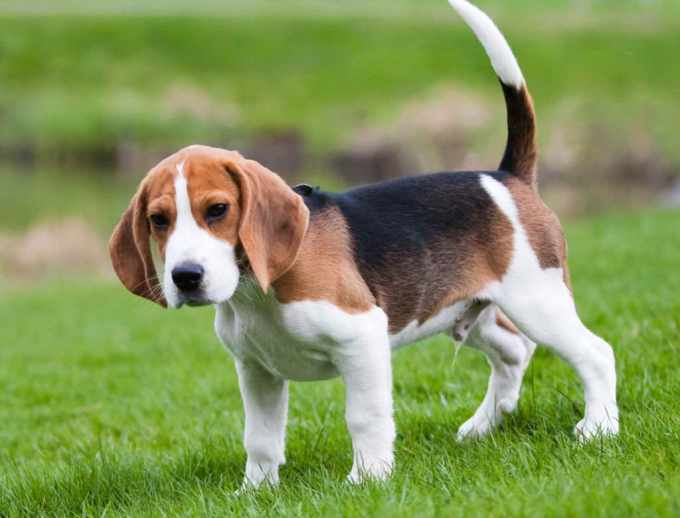 Beagle Puppies For Sale In Kansas
