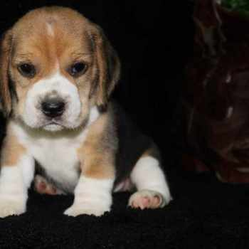 Beagle Puppies For Sale In Missouri