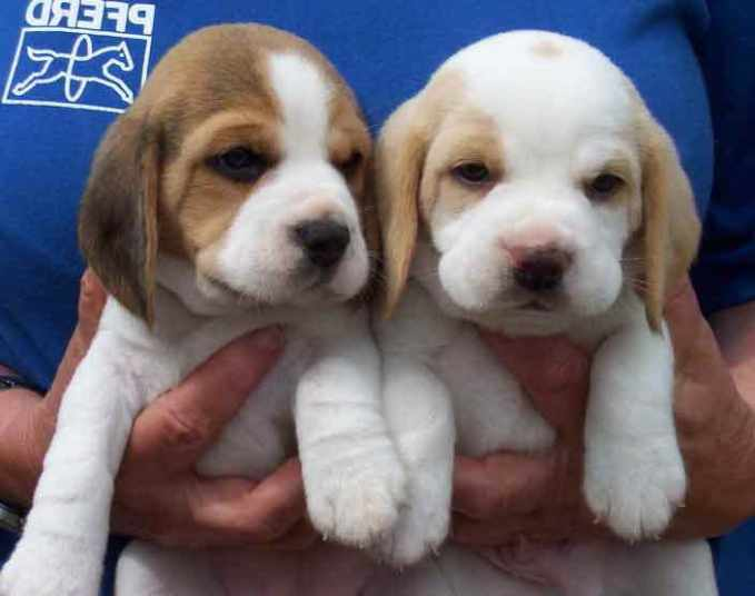 Beagle Puppies For Sale In New England