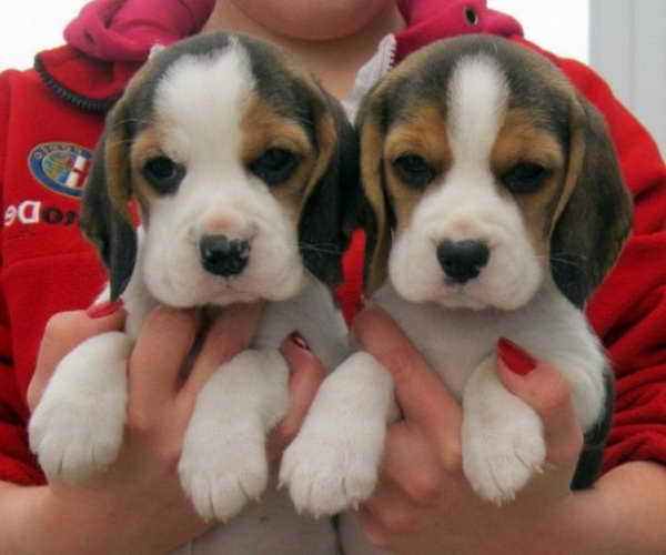 Beagle Puppies For Sale In New Mexico