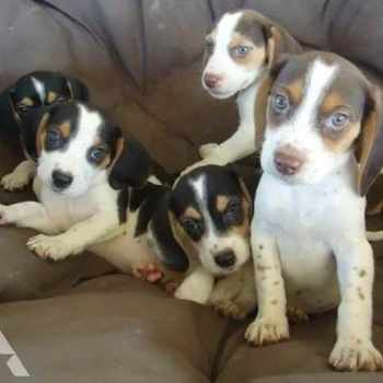 Beagle Puppies For Sale In Ohio