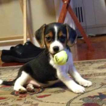 Beagle Puppies For Sale In Oregon