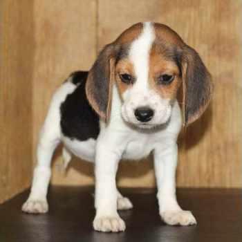 Beagle Puppies For Sale Orlando