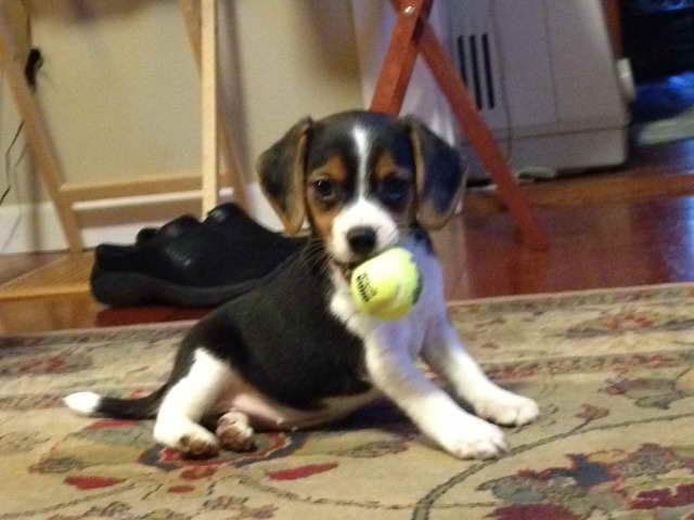 Beagle Puppies For Sale Rochester Ny