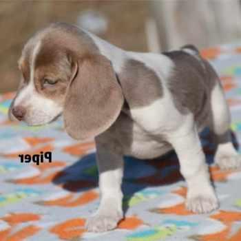 Beagle Puppies For Sale San Antonio