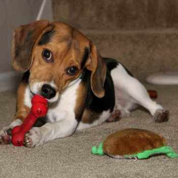 Beagle Puppies For Sale Wisconsin