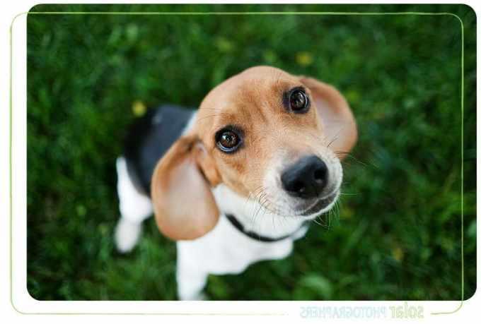 Beagle Puppies Kansas