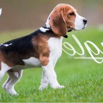 Beagle Puppies Miami