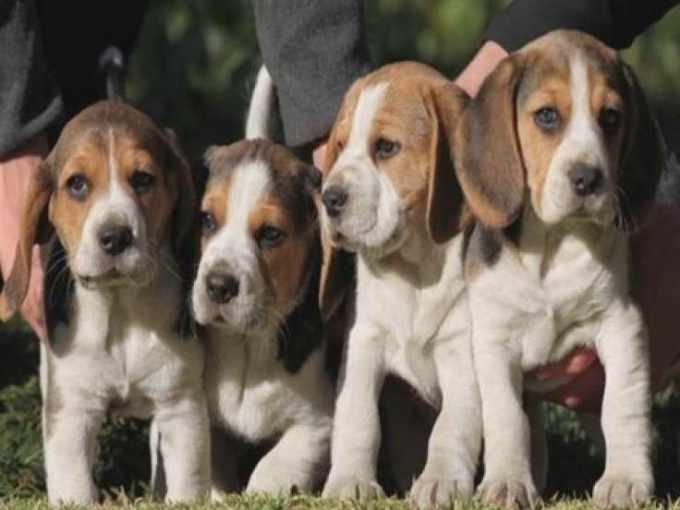 Beagle Puppies Michigan