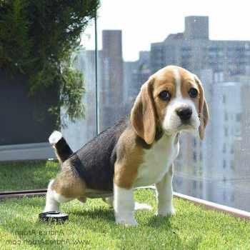 Beagle Puppies Nyc