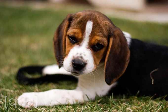 Beagle Puppies Utah