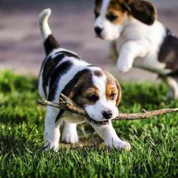 Beagle Rescue Austin Tx