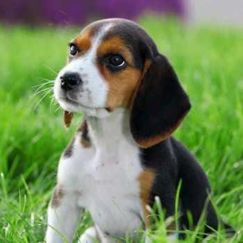 Beagle Rescue Kansas City
