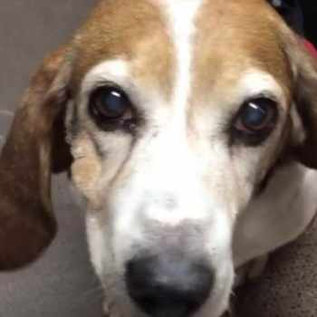 Beagle Rescue Knoxville Tn