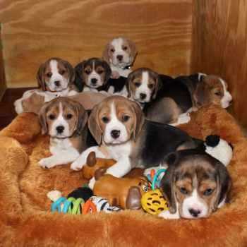 Beagle Rescue Near Me