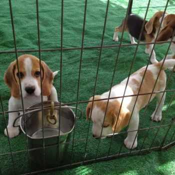 Beagle Rescue Orlando