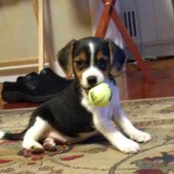 Beagle Rescue Rochester Ny