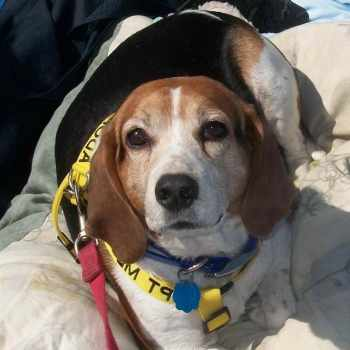 Beagle Rescue South Florida