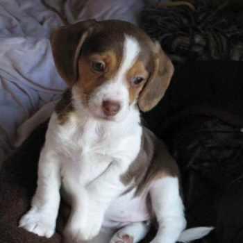 Beagle Rescue Tn